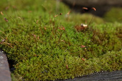 Moha / Moss (bencze82) Tags: voigtlnder apolanthar 90mm f35 slii canon eos 700d moha moss garden kert nvny plant