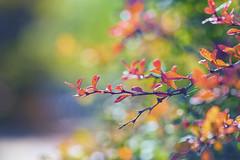 Autumn Leaves (mclcbooks) Tags: fall autumn colors leaves leaf bokeh plants denverbotanicgardens colorado