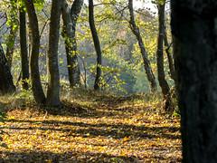 (klgfinn) Tags: autumn autumncarpet forest haze landscape leaf light shore slope steepslope sunlight tree wood