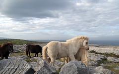 The Burren (9O6A5477_1) (Wonder Westie) Tags: theburren burren nationalpark eire ireland ie clare animal outdoor stonewall limestonepavement canon canoneos