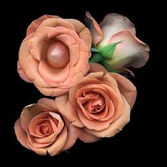 Corsage (Jazz Jumper) Tags: corsage peach roses posy romantic sensual romance love flora flowers bloom petals