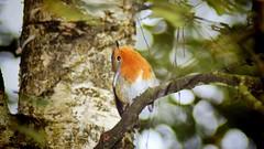 The Playful Robin (CMF1983) Tags: outdoor bird animal robin nature wildlife moorsvalley tree autumn nikon d3300 tamron flickrsbest