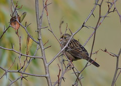Golden-crowned Sparrow (Neal D) Tags: bc surrey crescentbeach blackiespit bird sparrow goldencrownedsparrow zonotrichiaatricapilla