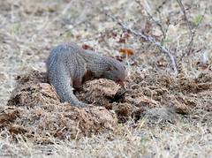 DSC_1439 (H Sinica) Tags: udawalawenationalpark  mongoose srilanka  ceylon  safari