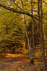 Early Autumn (ukasz Babula) Tags: poland october forest woods wood tree trees warm colours path trail road landscape autumn early sunny leafs silence countryside nature natural outdoor serene peaceful plant foliage nikon d60 1855