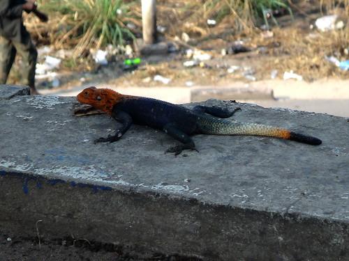Un lagarto de cabeza roja.   Kinshasa. RD Congo