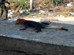 Un lagarto de cabeza roja.   Kinshasa. RD Congo (escandio) Tags: ciudad 3kinshasa lagarto animales kinshasa rdcongo 2016