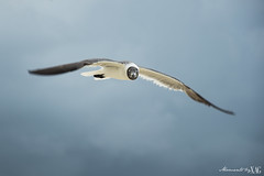 The Seagull is watching (Moments by Xag) Tags: seagull beach sea sky gaviota mar playa cielo bird pajaro flying volando nikon d610 tamron 16300 momentsbyxag xag