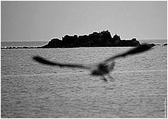 DJ 340 (cadayf) Tags: seaside 22 bretagne britanny oiseau bird mouette goland gull prondeurdechamp dof nb bw