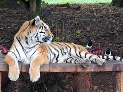 Busted (Sharon B Mott) Tags: amurtiger tiger bigcat preditor carnivour animal magpies birds yorkshirewildlifepark october busted