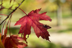 Red Leaf (benevolentkira7) Tags: fall leaves nature outside outdoor beautiful pretty colorful wonderful bokeh bright vibrant
