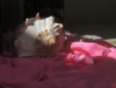 sunshine on my shoulders (Ani Carrington) Tags: conch conchshell stillife stilllife pink light cloth