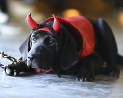 Halloween Party (Ollie girl) Tags: patriotpaws patriotpawsservicedogs rockwall texas labrador