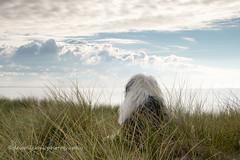 sea view (dewollewei) Tags: old english sheepdog oldenglishsheepdog oldenglishsheepdogs oldenglishsheepsdog engkish oes bobtail dewollewei ameland beach sky clouds hollum waddeneilanden wadden