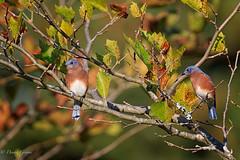 Bluebirds (dngovoni) Tags: meadowlark autumn bird bluebird fall