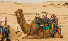 Colourful-camel_DSC2898 (Mel Gray) Tags: birubibeach nelsonsbay portstephens camels beach newsouthwales outdoors