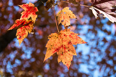 Local Color (amythyst_lake) Tags: maple leaf leaves tree woods fall autumn wisconsin
