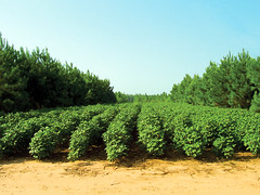Alley cropping (USDAgov) Tags: agroforestry conservation forestmanagement forestry forests nationalagroforestrycenter nationalforestproductsweek nrcs