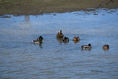 Mallard Ducks Bathing_3085 (Porch Dog) Tags: 2016 garywhittington kentucky nikond750 fx nikon200500mm ducks mallard water wildlife nature feathers