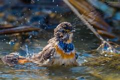 pettazzurro al bagno (taronik) Tags: animali acqua natura uccelli cacciafotografica passeriformi pettazzurro bentivoglioedintorni