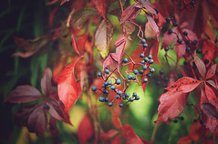 autumn leaves (carlamgk) Tags: flickrfriday autumnleaves autumn changingleaves red berries nature seasons