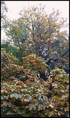 Autumn Aesculus (larry_shone) Tags: tree aesculus chestnut conker autumn fall