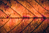 Leaf, Back-lit [Explored 24/10/2016 #38] (A J Thackway) Tags: hmm macromondays backlit leaf autumn falling tree decay dying changing seasons canon 6d ef100mmf28lismacro tripod flash speedlite offcamera yongnuo yn568exii wireless triggers macro