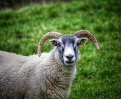 2016-10-22_10-58-31 (Innerleithen man) Tags: sheep wool nikon nikond5100 snapseed hdr sigmalens sigma120400mm eartag