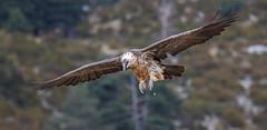 12 11 2014 (cathyk31) Tags: bird oiseau accipitriformes beardedvulture gypaetusbarbatus gypatebarbu accipitrids