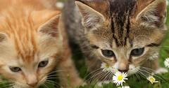 First Steps. (mcginley2012) Tags: kittens cat daisy closeup outdoor fur feline ginger tabby grass ireland nature felidae pets