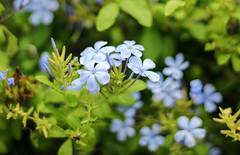 Plumbago (thingsfrompanama) Tags: flowers flores plumbago panama panamacity