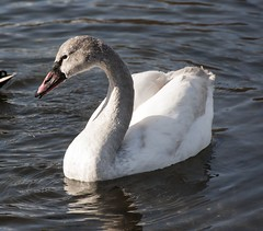 Tundra Swan (David Badke) Tags: bird bc colwood