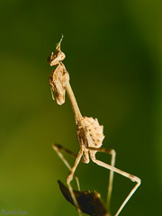 Empusa pennata (Marcelo Esco) Tags: religiosa praying macro bicho nature insecto empusa naturaleza palo pennata mantis insect macrofotografa