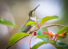 Ruby-throated hummingbird at Philippe Park... (jschrock46) Tags: rubythroated hummingbird firebush plant leaf bird outdoor animal