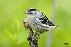 Black and White Warbler (jt893x) Tags: 150600mm bird blackandwhitewarbler d500 jt893x mageemarsh mniotiltavaria nikon nikond500 sigma sigma150600mmf563dgoshsms songbird warbler specanimal