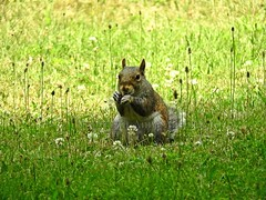 Gray Squirrel (--Anne--) Tags: animal photography squirrel squirrels easterngraysquirrel gray nature wildlife cute