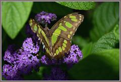 *** Malachite (Siproeta stelenes) *** (Wolverine09J ~ 1 Million + Views) Tags: comozooaug16 malachitebutterfly exoticspecies nature butterflygarden minnesota insect exhibit summer livingjewelsofnature