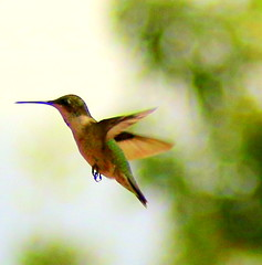 Female Black-Chinned Hummingbird (austexican718) Tags: bird hummingbird blackchinned colibris archilochusalexandri centraltexas hillcountry inflight animal nature