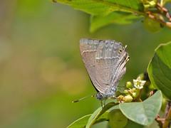 Eikenpage (diederickmeinen) Tags: vlinders