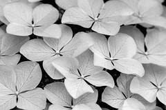 (Light Echoes) Tags: sony a6000 2016 spring june pennsylvania macro plant flower bloom blossom oakleafhydrangea white bokeh bw blackandwhite monochrome sonyflickraward