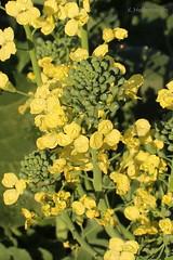 Broccoli blooming (klarikris) Tags: broccoli blooming vegetable garden huerta horta brcoli gemsegarten flores blumen