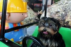 Flo Yorkie Poo Puppy Helping Bob the Builder at Tesco Oakham Rutland (@oakhamuk) Tags: flo yorkiepoo puppy helping bobthebuilder tesco oakham rutland martinbrookes