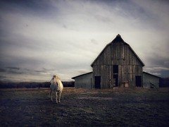 White Horse, Old Barn (Wayne Greer) Tags: oldbarn horse waynegreer mobilephotography iphoneography kansas ipad
