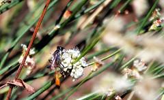 Another burrowing wasp (TJ Gehling) Tags: insect hymenoptera wasp burrowingwasp sphecidae ammophila plant flower caryophyllales polygonaceae buckwheat californiabuckwheat eriogonum eriogonumfasciculatum canyontrailpark elcerrito