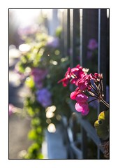 Basking in the early morning light (red stilletto) Tags: southmelbourne windowbox flowerbox flower flowers geraniums sun sunlight bokeh famousflickrfive