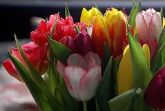 Flowers (gornabanja) Tags: flowers tulips colours colors colourful colorful nature nikon d70 plants