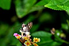 Slurp (donjuanmon) Tags: sliders slidersunday hss donjuanmon butterfly nectar lantana flower