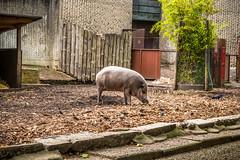 Stand (jev55) Tags: nikon londonzoo zsl london zoo animals summer warm light bearded pig boar