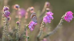 Heideblauwtje - Silver-studded blue (wimzilver) Tags: wimboon vlinder butterfly dopheide macro wimzilver sunset