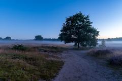 Westruper Heide im Morgennebel (webpinsel) Tags: blütezeit morgendämmerung morgenstimmung nebel landschaft halternamsee wolkenlos sythen naturschutzgebiet natur sommer westruperheide